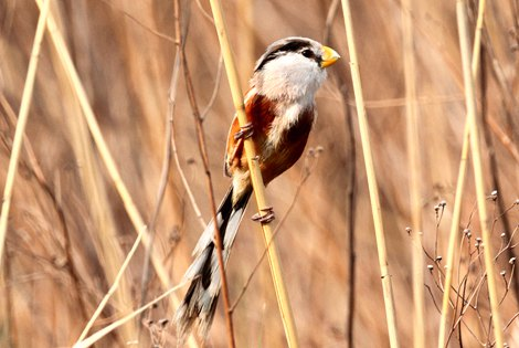 East China Parrotbill Extension
